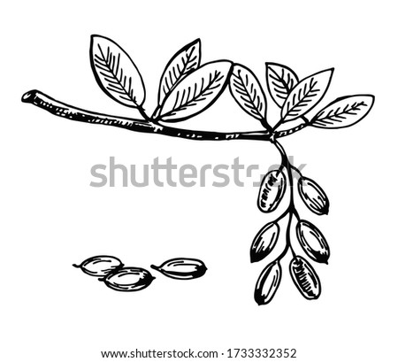 Sketch illustration of barberry. Hand drawn style barberry set. Barberry with seeds and leafs. Sketch style vector illustration. Organic food vector. Royalty-Free Stock Photo #1733332352