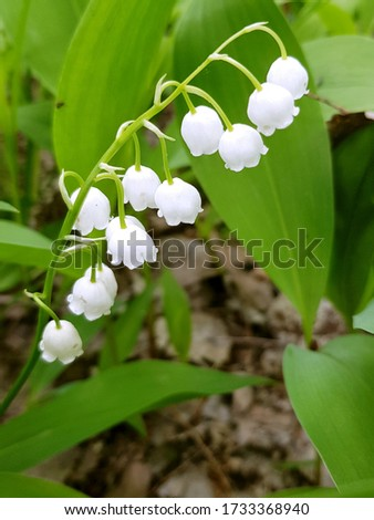 Vertical close-up picture of lily of valley, may lily flower in wild forest. Natural blossom background. Environment.