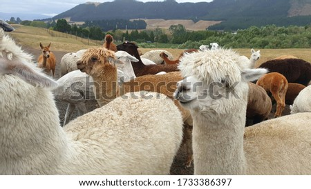 Alpaca pictures at a farm