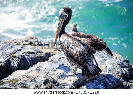 Big Brown Pelican Seating on the Stone near Vina Del Mar, Chile Royalty-Free Stock Photo #1733571218