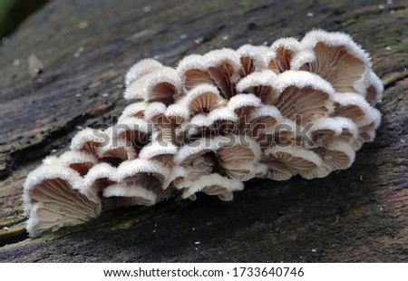 Close-up picture of mushroom, Schizophyllum commune is a species of fungus in the genus Schizophyllum. The mushroom resembles undulating waves of tightly packed corals or loose chinese fan.