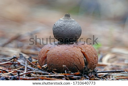 Close-up picture of mushroom, Geastrum, commonly known as the rounded earthstar, is a species of mushroom belonging to the Geastrum genus.