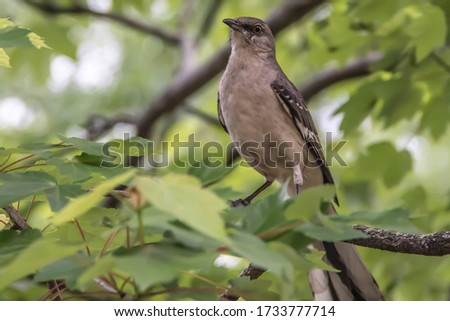 A beautiful northern mockingbird perched on a limb in the springtime