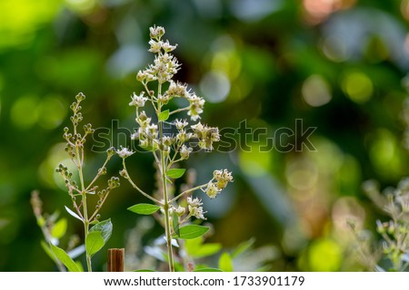 White Henna or Lawsonia inermis, flowers and green leaves have medicinal properties and on natural background.