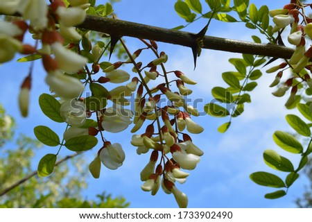 Close-up picture taken of black locust