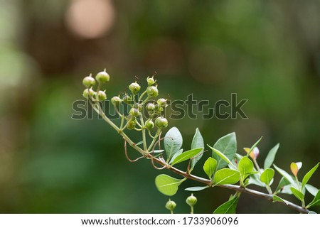 Henna or Lawsonia inermis, fruits on tree have medicinal properties and on natural background.