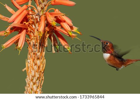 Beautiful male Allen's hummingbird feeding on aloe flowers. Photo taken in Southern California.