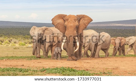 An elephant herd, led by a magnificent 'tusker' bull at a waterhole in the Addo Elephant National Park in South Africa. #1733977031