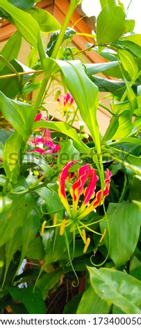 Gloriosa Superba Flame Lily is also known as a climbing lily, a picture taken in a forest in northern Thailand.