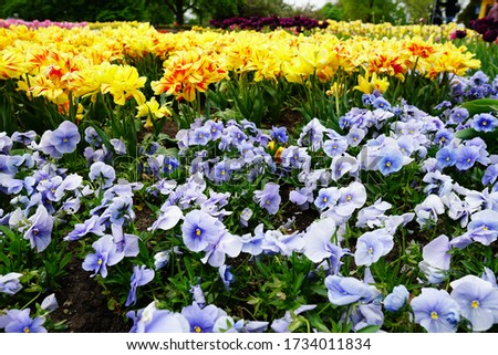 A beautiful picture of blue and yellow flowers in a garden under the sunlight #1734011834