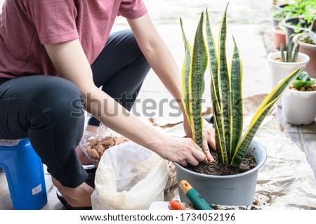 Gardener planting Snake Plant in a pot, it is now used predominantly as an ornamental plant. Snake plant is a popular houseplant because it is tolerant of low light levels and irregular watering. Royalty-Free Stock Photo #1734052196