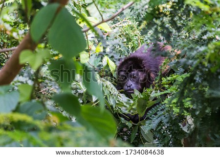 Howler monkey foraging for food in the tree tops of Guanacaste in Costa Rica. Royalty-Free Stock Photo #1734084638