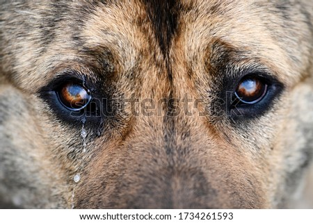Middle-Asian shepherd close-up brown, looks wistfully and cries. Sad dog with tears in his eyes. A large breed dog looks sad with a tear in its eye. Brown dog eyes close up #1734261593