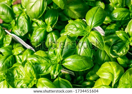 Top-down picture of basil plants. Basil (Ocimum basilicum) is a tender plant, and is used in cuisines worldwide. This particular species is the sweet basil (or Genovese basil).