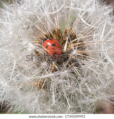 A red ladybug sits on a center of dandelion flower and basks in the sun. Summer day. Cute and beautiful macro for wallpaper or photo picture.