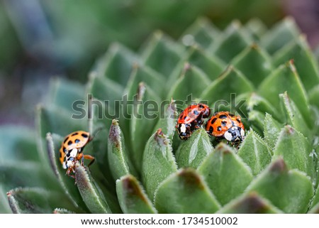 A three of red ladybugs on a green spiky plant succulent Saxifrage. The little ladybirds. Cute and beautiful macro for wallpaper or photo picture.
