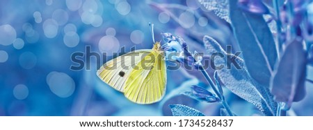 Pieris rapae on flowers Salvia officinalis. small white, small cabbage white and white butterfly on purple flowers sage, garden sage, common sage, culinary sage, just salvia. Classic blue tonin #1734528437