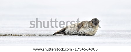 Seal resting on an ice floe. Ringed seal (Pusa hispida or Phoca hispida), also known as the jar seal, as netsik or nattiq by the Inuit, is an earless seal inhabiting the Arctic and sub-Arctic region. #1734564905