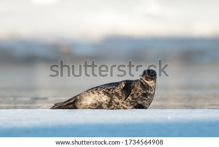 Seal resting on an ice floe. Ringed seal (Pusa hispida or Phoca hispida), also known as the jar seal, as netsik or nattiq by the Inuit, is an earless seal inhabiting the Arctic and sub-Arctic region. #1734564908