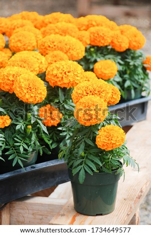 Marigolds Orange Color (Tagetes erecta, Mexican marigold, Aztec marigold, African marigold), marigold pot plant  #1734649577