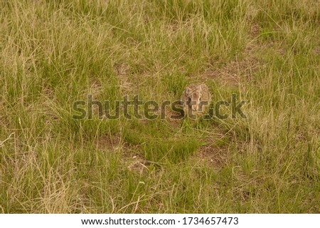 Cottontail rabbit well camouflaged in the prairie grass of Badlands National Park, South Dakota, USA