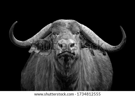 Black and white photo of African buffalo portrait; Syncerus caffer; Kenya. He is isolated on the black background. It is wildlife photo in Tsavo East, National park, Africa.