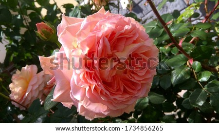 Slightly drooping, sumptuous, pink-coral rose flower head against a flowering rose shrub in spring. Large, gorgeous, pinkish coral rose against a dark-leafed, blooming shrub. Fragrant may rose.  #1734856265