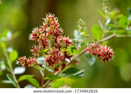 Red Henna or Lawsonia inermis, flowers and green leaves have medicinal properties and on natural backgrounds.