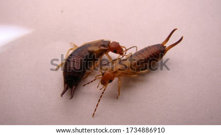 Earwigs on a white background | insect.