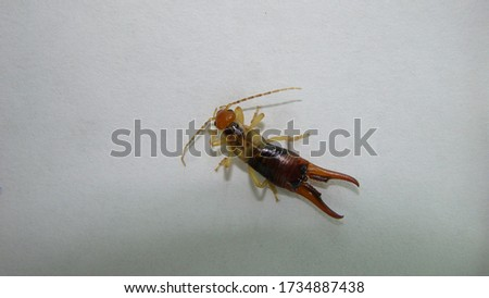 Earwig on a white background (Male) Earwigs will use their pincers to defend themselves | close up . animals, animal, insects, insect, bugs, bug, wildlife, wild nature.