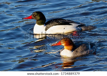pair of Common Mergansers, Vancouver, BC, Canada Royalty-Free Stock Photo #1734889379