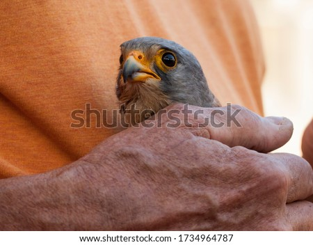 Close up picture of a falcon which has been separated from his freedom that he used to have in nature.