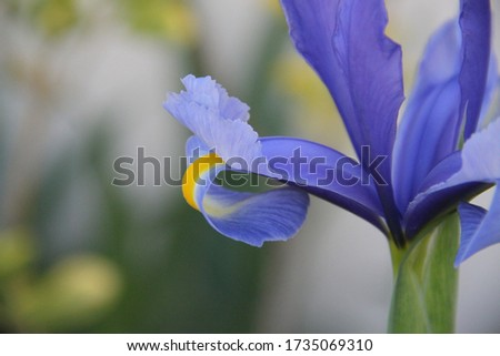 Blue Iris spring flower bud close up