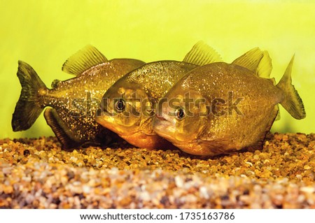 The piranha in an aquarium in a contact zoo. They are a popular aquarium fish.