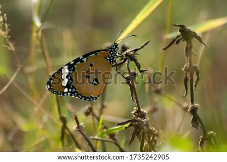 Butterflies of Sri Lanka (Tigers) – Plain Tigers – Pic by Ruwan Walpola
