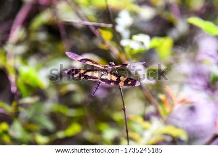 Dragonflies of Sri Lanka (Chasers) – Variegated Flutterer (Female) – Pic by Ruwan Walpola