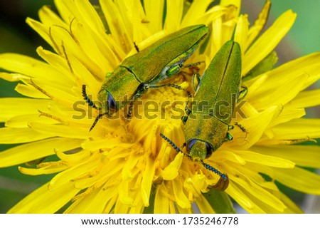 Two beautiful shiny green beetles on a yellow flower. Macro, insects on flowers. Positive picture