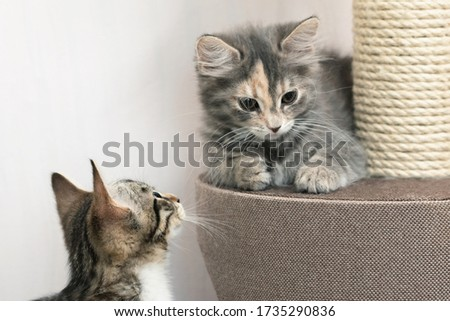 Two Cute gray kittens are sitting near the scratching post on cat furniture