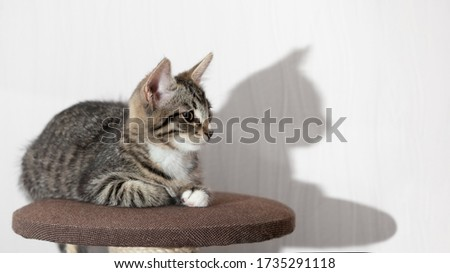 Cute gray tabby kitten lies on the top platform of cat furniture and looks at the camera. Horizontal banner, copy space