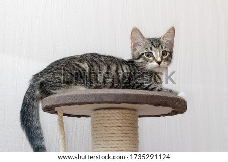 Cute gray tabby kitten lies on the top platform of cat furniture and looks at the camera