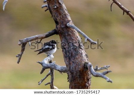 Male European pied flycatcher (Ficedula hypoleuca) sitting on a pine branch, picture from Mellansel Vasternorrland, Sweden.