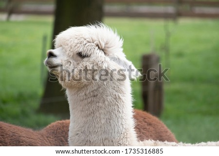 White Alpaca, a white alpaca in front of a brown alpaca. Selective focus on the head of the white alpaca, photo of head. #1735316885
