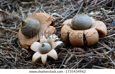 Close-up picture of mushroom, Geastrum is a genus of mushroom in the family Geastraceae. Many species are known commonly as earthstars.