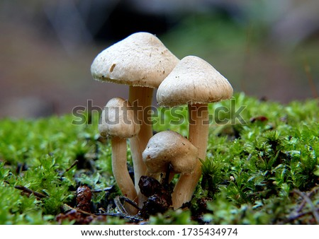 Close-up picture of mushroom, Inocybe is a large genus of mushroom-forming fungi. Members of Inocybe are mycorrhizal