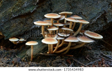 Close-up picture of mushroom, A bright yellow mushroom that can be found thought out the year on fallen logs or stumps of deciduous trees.