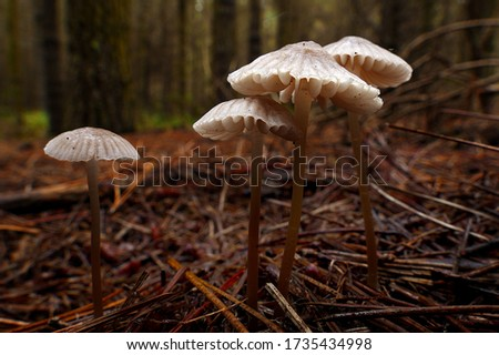 Close-up picture of mushroom, Mycena is a large genus of small saprotrophic mushrooms that are rarely more than a few centimeters in width. They are characterized by a white spore print