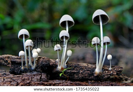 Close-up picture of white mushroom, Mycena is a large genus of small saprotrophic mushrooms that are rarely more than a few centimeters in width. They are characterized by a white spore print