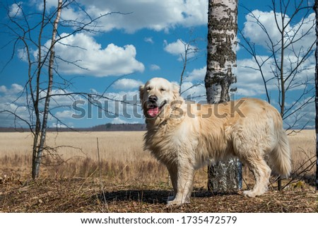 White Golden Retriever in a Forest in Spring