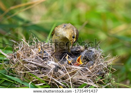 Willow warbler, phylloscopus trochilus, feeding little chicks on nest in summer nature. Family of wild bird with brown and yellow plumage breeding. Mother animal with young offsprings. Royalty-Free Stock Photo #1735491437