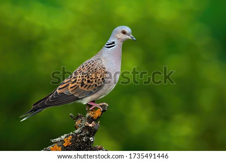 Alert european turtle dove, streptopelia turtur, standing on branch and stretching neck in summer forest with blurred green background. Wild bird perched in treetop from side view with copy space #1735491446